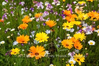 Wild-flowers-Malestroit