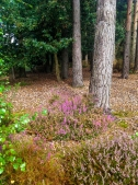 Ferndown Common 001