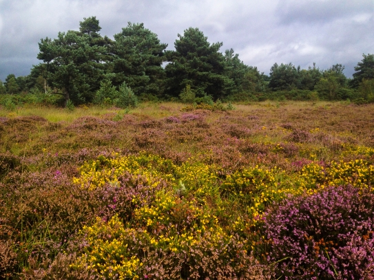 Ferndown Common-013