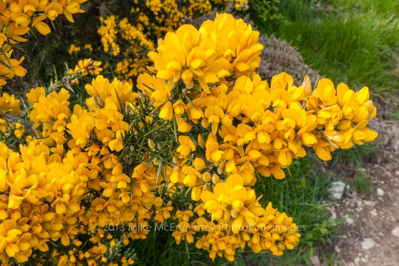 Gorse in bloom and smelling of coconut
