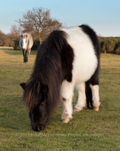 New Forest pony in new winter coat
