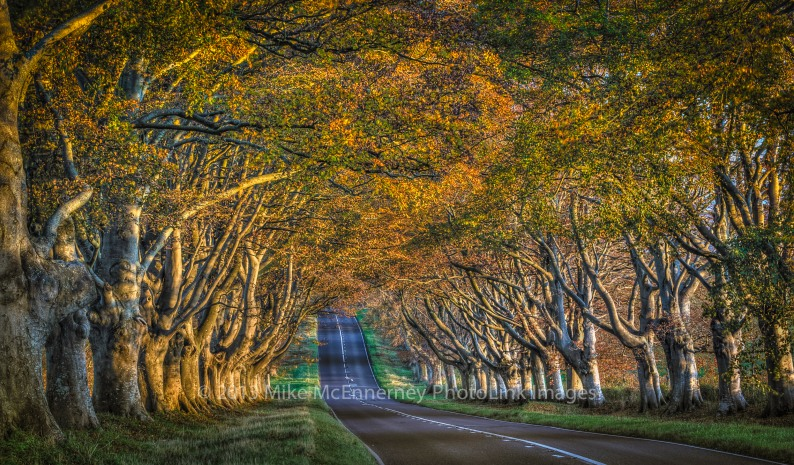 Avenue of beech trees, Wimborne, Dorset, UK