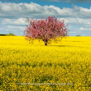 Lone Tree growing in a field of oilseed rape