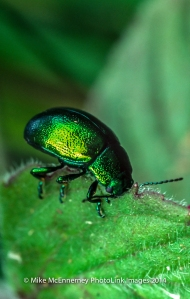 Mint leaf beetle feeding on wild mint
